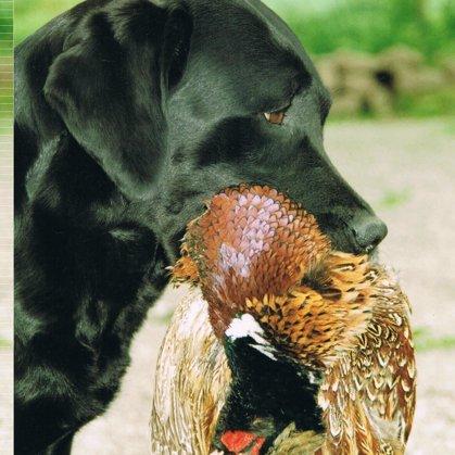 Vuxna Labradorer